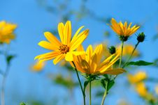Free Topinambur Flower Royalty Free Stock Photography - 16228197