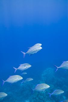 Free Small School Of Bluefin Trevally Cruising. Stock Photo - 16229000