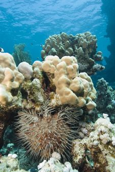 Free Tropical Coral Reef With Crown-of-thorns Starfish. Royalty Free Stock Images - 16229009
