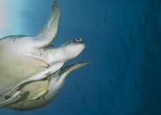 Adult Female Green Turtle , Swimming. Royalty Free Stock Image