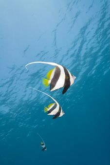 Free Small Group Of Schooling Bannerfish. Stock Image - 16229111