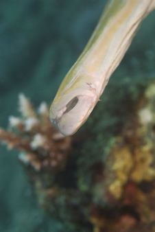 Free Close-up Of A Trumpetfish S Mouth. Royalty Free Stock Photography - 16229127