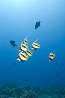 Free Small School Of Tropical Red Sea Bannerfish. Stock Photos - 16229133