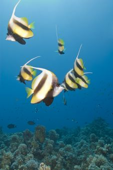 Free Small School Of Tropical Red Sea Bannerfish. Royalty Free Stock Image - 16229136