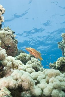 Sixspot Grouper On A Tropical Coral Reef. Royalty Free Stock Photos