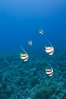 Small Group Of Schooling Bannerfish. Stock Image
