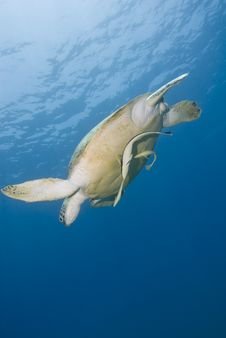 Adult Female Green Turtle Swimming. Stock Photography