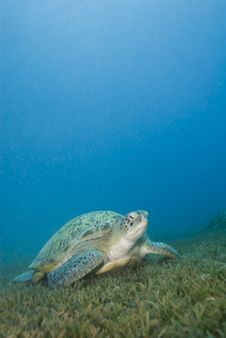 Free Adult Female Green Turtle On Seagrass. Royalty Free Stock Photo - 16229165
