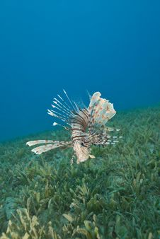 Common Lionfish Hovering Close To The Seabed. Stock Photography