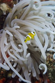 Free Juvenile Clownfish With Its Anemone. Stock Image - 16229231
