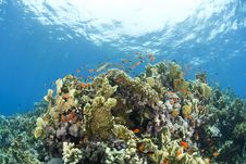 Free Colorful Tropical Coral Scene In Shallow Water. Stock Photo - 16229250