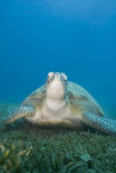 Free Adult Female Green Turtle On Seagrass, Front View. Royalty Free Stock Photos - 16229258