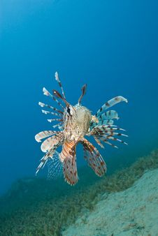 Free Common Lionfish Hovering Close To The Seabed. Royalty Free Stock Photo - 16229275