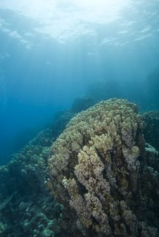 Pristine Colony Of Cone Coral In Shallow Water. Stock Photos