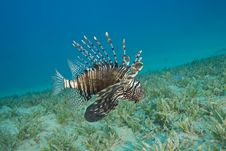 Common Lionfish Hovering Close To The Seabed. Stock Images