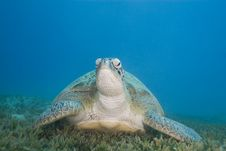 Free Adult Female Green Turtle On Seagrass, Front View. Royalty Free Stock Images - 16229329