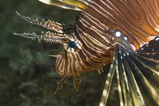 Close-up Of A Common Lionfish. Stock Photography