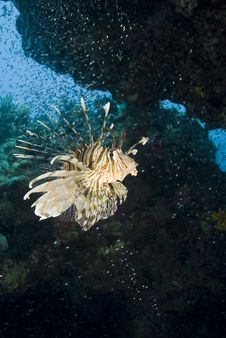 Free Tropical Common Lionfish. Stock Photography - 16229392