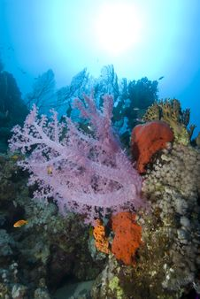 Vibrant Pink Soft Coral On A Tropical Coral Reef. Royalty Free Stock Photography