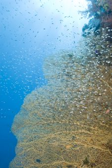 Free Gorgonian Fan Coral With School Of Baitfish. Stock Image - 16229651