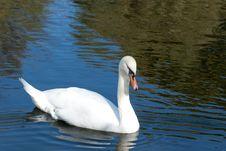 Free White Swan Stock Photo - 16230120