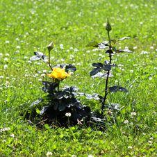 Free Yellow Rose Stock Photo - 16230230