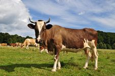 Free Cow On A Summer Pasture Stock Image - 16230251