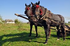 Free Two Horses In A Team. Royalty Free Stock Images - 16231169