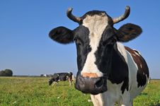 Free Cow On A Summer Pasture. Royalty Free Stock Photography - 16231307