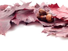 Free Leaves And Conker Royalty Free Stock Image - 16231966