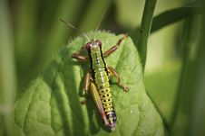 Free Grasshopper On A Leaf Royalty Free Stock Photography - 16232097
