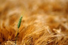 Green Ear Of Grain Between Yellow Grains Stock Photography