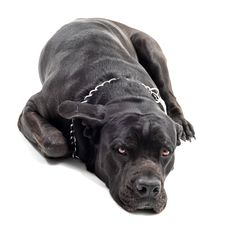 Free Cane Corso Royalty Free Stock Images - 16232909