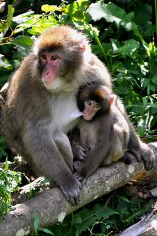 Free Macaque Monkeys, Mother With Baby Royalty Free Stock Photo - 16233215