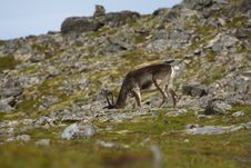 Reindeer In Norway Royalty Free Stock Photography