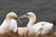 Free Gannet Couple Royalty Free Stock Images - 16234179