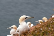 One Gannet In Focus Stock Photography