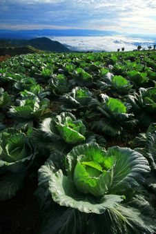 Free Cabbage Plantation Stock Photo - 16235570