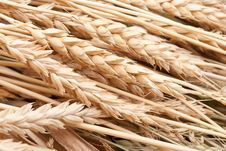 Free Wheat Ears Stock Images - 16235694