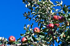 Free Ripe Apples Royalty Free Stock Photography - 16236097