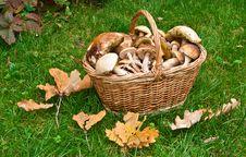 Basket Full Of Mushrooms Royalty Free Stock Image