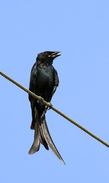 Free Fork-tailed Drongo Royalty Free Stock Images - 16237089