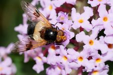 Vollucella Pellucens Hoverfly Feeding On Nectar Royalty Free Stock Photo