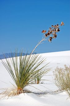 Free White Sands Flower Royalty Free Stock Photo - 16238435