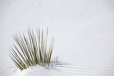 Free White Sands Plant Royalty Free Stock Image - 16238466