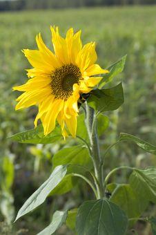 Free Beautiful Sunflower Stock Image - 16238631
