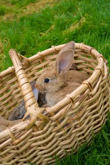 Free Bunnies In Basket Royalty Free Stock Photo - 16238655