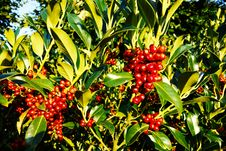 Free PUB.DOM.DED. Pixa Digionbew 18- 11,12,13-09-16 Berries In Green Leaves LOW RES Royalty Free Stock Photography - 162372887