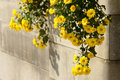 Free Mum Flowers Royalty Free Stock Photography - 16242967