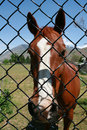 Free Brown Horse Behind Fence Royalty Free Stock Images - 16243539